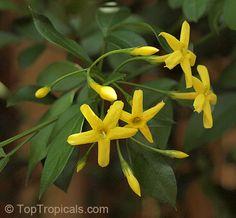 Jasminum floridum