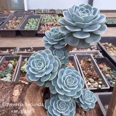 Echeveria secunda var. glauca, also called Glaucous echeveria (玉蝶)⠀Click on the photo if you want to find out more about this plant (sunlight, watering requirement, hardiness, and propagation). We update weekly with all new succulent tips.⠀