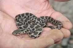 Reptile forum for all reptile breeders and keepers.