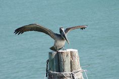 Pelican Photograph Photography by Aimee L Maher http://aimee-maher.artistwebsites.com/featured/1-pelican-aimee-maher.html