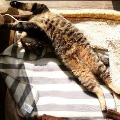 「なんつーカッコ。  #猫#cat#キジトラ#ウズラ」