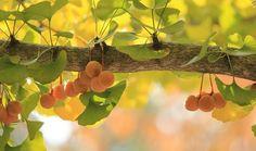 gingko-tree-610016_640-560x330
