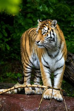For The Tiger Lovers:) Amur Tiger (by Cloudtail) I Love Cats, Big Cats, Cool Cats, Beautiful Cats, Animals Beautiful, Animals And Pets, Cute Animals, Cat Species, Siberian Tiger