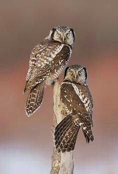 Northern Hawk Owls.