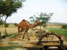 Watering the fields  in the old way before Modernization of Farming in Punjab