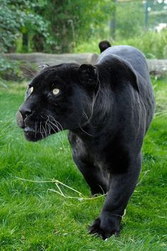 .Black Jaguar.