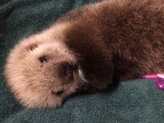 Adorable baby sea otter to call Vancouver Aquarium home (PHOTOS ...