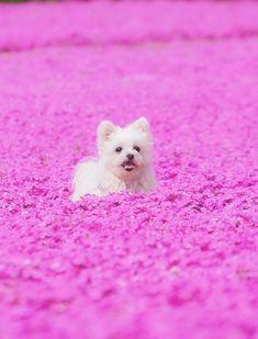 Kamu no Sato Rokutan HIrohsima Japan Spring Flower Garden Moss Phlox dog Beagle, Cutest Dog Ever, Cutest Dogs, Moss Phlox, Japan Spring, Dog Health Tips, Dog Paintings, Dog Memes, Dog Photography