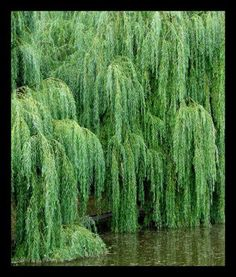 """Weeping Willows 