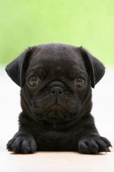 i think i just decided that i want my next puppy to be a pug