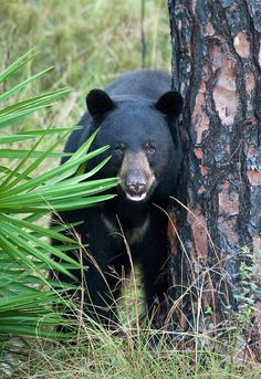 Florida Black Bears ,do not leave food outside or this guy will visit your yard and it could get ugly.
