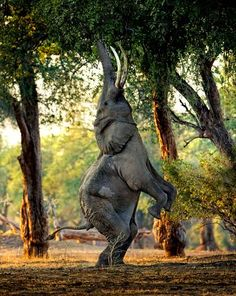 Bientôt bipède, l'éléphant?