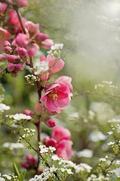 Flowering Quince – I have 2 in my yard – they are in bloom now – May – they grow fruit – any recipes for quince use ? My Flower, Pink Flowers, Beautiful Flowers, Colorful Roses, Beautiful Gorgeous, Dream Garden, Garden Inspiration, Beautiful Gardens, Garden Plants