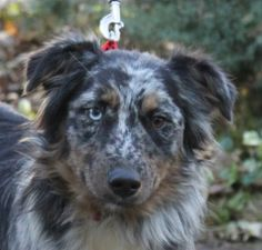 PEPPER is an adoptable Australian Shepherd Dog in Arlington Heights, IL. I am a typical smart, sensitive, sweet, gentle, calm, aussie girl about 1 year old! I am so beautiful, too! My adoption fee is ...