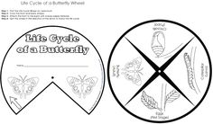 Make this butterfly life cycle wheel to teach kids about the stages of a butterfly's life.