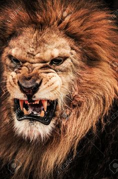 Close-up shot of roaring lion Poster. Lion Images, Lion Pictures, Images Of Lions, Majestic Animals, Animals Beautiful, Big Cat Family, Lion Eyes, Lion Photography, Angry Animals