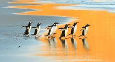 砂浜を歩くジェンツーペンギン | ナショナルジオグラフィック日本版サイト