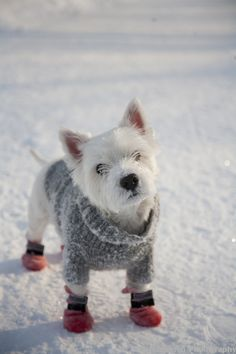 Ok, I am usually not a fan of clothes on puppies but this Westie dressing for snow day; so cute the red shoes. Cute Puppies, Cute Dogs, Dogs And Puppies, Doggies, West Highland White Terrier, Baby Animals, Cute Animals, Delphine, Tier Fotos