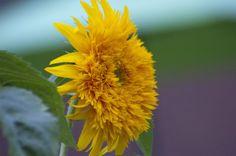 Sunflower  http://earth66.com/botanical/sunflower-2/