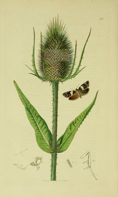 Teasel with Zeiraphera hastiana or Olindia schumacherana    (Pre 1840) from British Entomology.   by John Curtis.