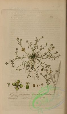 Procumbent Pearl-wort, sagina procumbens - high resolution image from old book. Flora Flowers, Old Book Pages, Art Clipart, Medicinal Plants, Picture Collection, Scrapbook Supplies, Beautiful Paintings, Botany