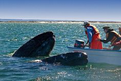 visiting gray whales in Baja