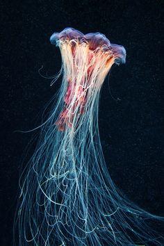 Cyanea Capillata 02 by Alexander Semenov   Mammoth & Co.