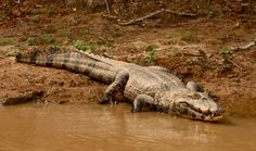 Alligator in the Bolivian pampas
