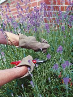How to Prune Lavender - Cut back in Late Winter or early spring as close as possible to old wood without cutting into the old wood; leave a few healthy leaves above the brown stems (plants won't produce new shoots from old wood). In Late Summer after flowering, remove all the old flowerheads to prevent plant from using energy to make unwanted seed.