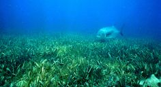 Effective climate change mitigation in the form of seagrass restoration projects