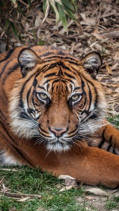 Tiger...that look says you are about to be a mid afternoon snack