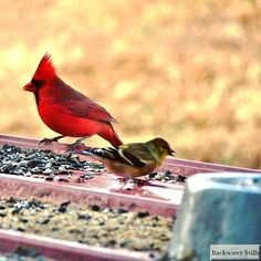 Got him! Cardinal Richelieu! So pretty... #appalachia #artlife #backtomyroots #backwaterstills #cardinal #countryliving #farmart #farmhousedecor #farmhousestyle #farmlife #farmhousecottage #homedecor #lifeinthecountry #madeintn #modernfarmhouse #ruralart #ruralphotography #shopsmall #tennesseeartist #wildbirds  #allbeauty_addiction #country_features #farmsofinstagram #hillbrookville #ig_rural #OnlyTennISee #pocket_farms #rsa_rural_ #splendid_outskirts #trb_rural