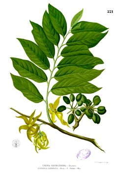 Ylang ylang botanical drawing. One of my favorite scents :)
