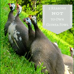 5 reasons not to own guinea fowl. This is great article! I concur completely with the author. Our guineas are BULLIES as she says in her article! They are nasty to our hens. They are notorious for being lousy parents. I too wish for any considering them to make sure you are well informed. And they WILL dig up your property making dust pits in places that are easiest for them like the base of grapevines, fruit trees and rose bushes exposing the roots. No more Guineas for us once these are gone.
