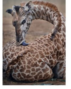 giraffe.appreciation on Instagram: Newborns are just the cutest!!
