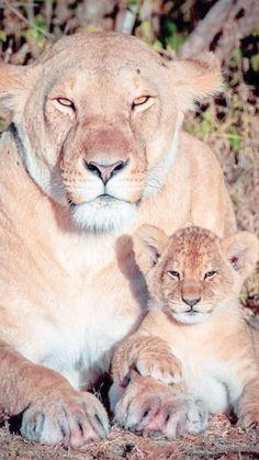 Beautiful Cats, Big And Beautiful, Animals Beautiful, Rare Animals, Exotic Animals, Lion Family, Lion Cub, Exotic Pets, Big Cats