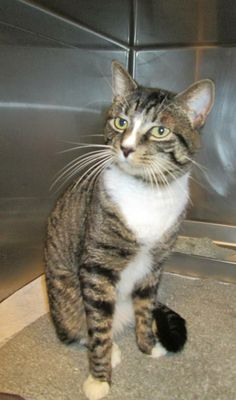 HIGGINS is a very handsome, 1 year old male Tabby. He loves attention. He seems to like other cats and will make a great addition to your home.**Please let the Shelter staff know you saw this cat on Petfinder.com. All the animals at the shelter are...