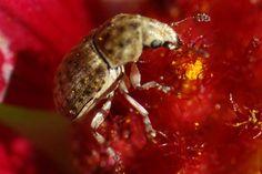 Fungus Weevil (Trigonorhinus limbatus) Insects, Park, Nature, Animals, Animales, Animaux, Parks, Naturaleza, Animais