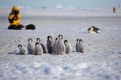 Penguin Love, Emperor Penguin, Baby Penguins, Antarctica, Animals, Kawaii, Birds, Snow, Animales