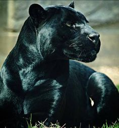 black panther - ever watchful Big Cats, Cats And Kittens, Cute Cats, Siamese Cats, Black Animals, Cute Animals, Black Cats, Wild Animals, Beautiful Cats