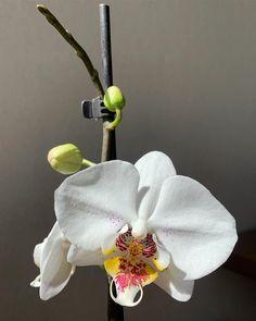 Phal. Astral💕 ⠀  Второе цветение дома, нарастил всего 4 цветочка, остальная часть цветоноса непонятно для чего нужна😂 Филонят мои орхидеи… Flowers, Plants, Plant, Royal Icing Flowers, Flower, Florals, Floral, Planets, Blossoms