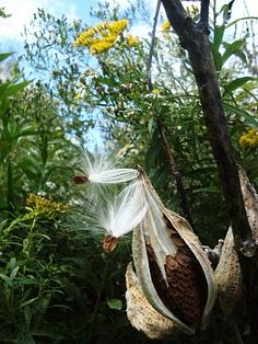 I remember breaking apart milkweed pods and blowing the silky fuzz into the air