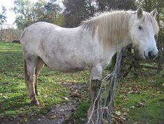 highland pony Highland Pony, Miniature Horses, Cute Ponies, Tack, Animal Kingdom, Dog Training, Equestrian, Pup, Dogs
