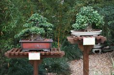 Bonsai tree display in Japan Pavilion during the Epcot International Flower and Garden Festival.