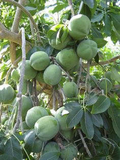 Tropical Fruits: White Sapote fruits on tree. http://www.piantetropicali.com/public/image/frutto/EPSN1295.JPG