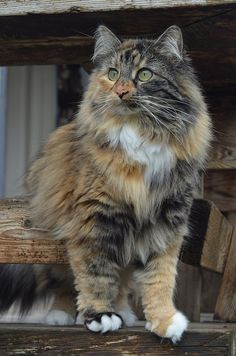 Tortoise long haired cat | laurie cinotto | Flickr