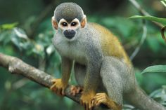 Bolivian squirrel monkey images - Google Search