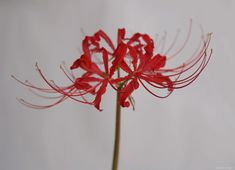 Red Lilies Returned | Yuko Nagai. Artist.