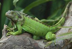 full-grown-green-iguana-wallpaper-4.jpg (588×400)