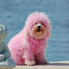 2 OF MY FAV THINGS????A HAVANESE AND PINK.... RElax....the dye is veg based...non toxic....i wanted to dab some on my havys tail for halloween...so i looked into it....very safe...but i did not get the chance to get any...maybe next year...b jeanz